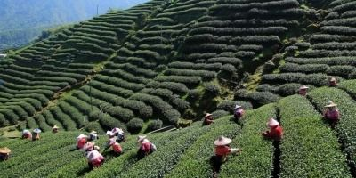 The Enigmatic World of Indian Teas