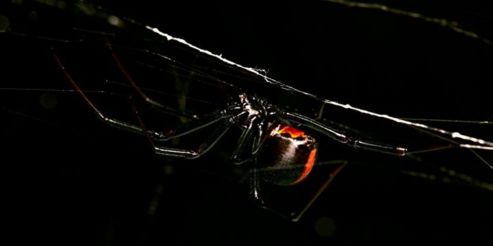 8 Facts to Keep in Mind When Leaving for Australia The redback spider is another dangerous creature living in Australia