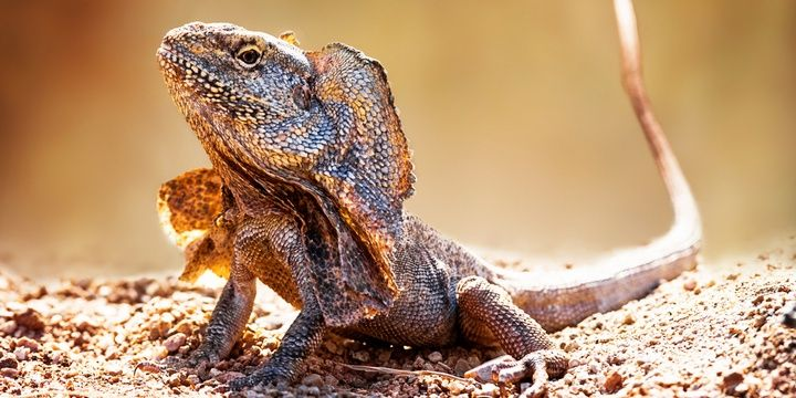 8 Facts to Keep in Mind When Leaving for Australia The frilled-neck lizard has sharp incisors