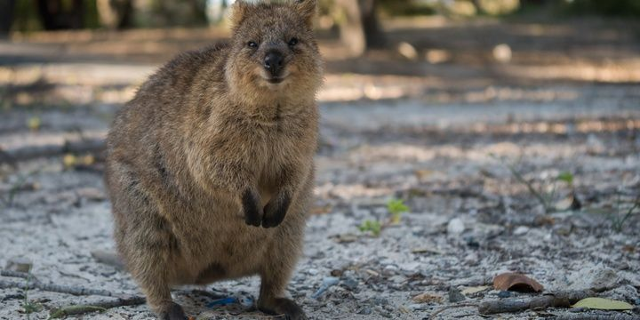 8 Facts to Keep in Mind When Leaving for Australia Who might ever think that Australian Quokkas would be included in the list of the most dangerous animals living in Australia