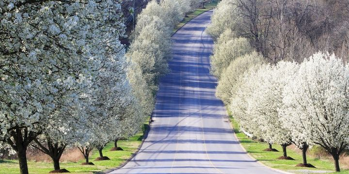 Smart Landscaping 5 Types of Trees You Should not Plant Bradford pear tree