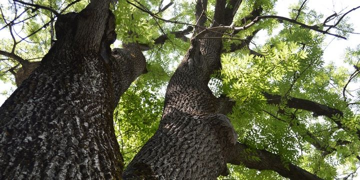 Smart Landscaping 5 Types of Trees You Should not Plant Ash tree